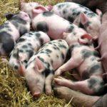 Irska: potrebni radnici za rad na farmi svinja! Nije potrebno iskustvo niti bilo kakve kvalifikacije!