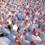 POSAO NA FARMI INOSTRANSTVO – Pomoćni radnici i mesari potrebni!