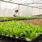 POSAO U NEMAČKOJ  – Potreban radnik za poljoprivredne poslove Nemačka – uzgoj cikorije
