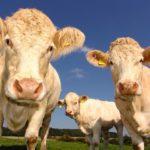POSAO U IRSKOJ – Posao na farmi Irska – potrebni radnici i pomoćni radnici na farmama krava i svinja