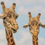 POSAO NEMAČKA – Posao ČUVAR U ZOOLOŠKOM VRTU NEMAČKA – potrebne osobe sa iskustvom u radu sa životinjama za brigu o konjima u zoološkom vrtu