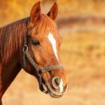 POSAO NEMAČKA – Posao hranjenje i nega konja Nemačka – Smeštaj obezbeđen!