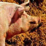POSAO U ŠVAJCARSKOJ – Posao na farmi Švajcarska – poslovi na farmi svinja – briga oko svinja