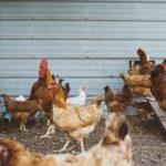 POSAO AUSTRIJA – Posao na poljoprivrednom imanju Austrija – briga o kokoškama, hranjenje, rad u kokošinjcu… – poslodavac obezbeđuje smeštaj