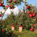 Berba voća i povrća u Nemačkoj – satnica 12€!