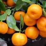 Sezonski posao inostranstvo – Branje i sortiranje mandarina!